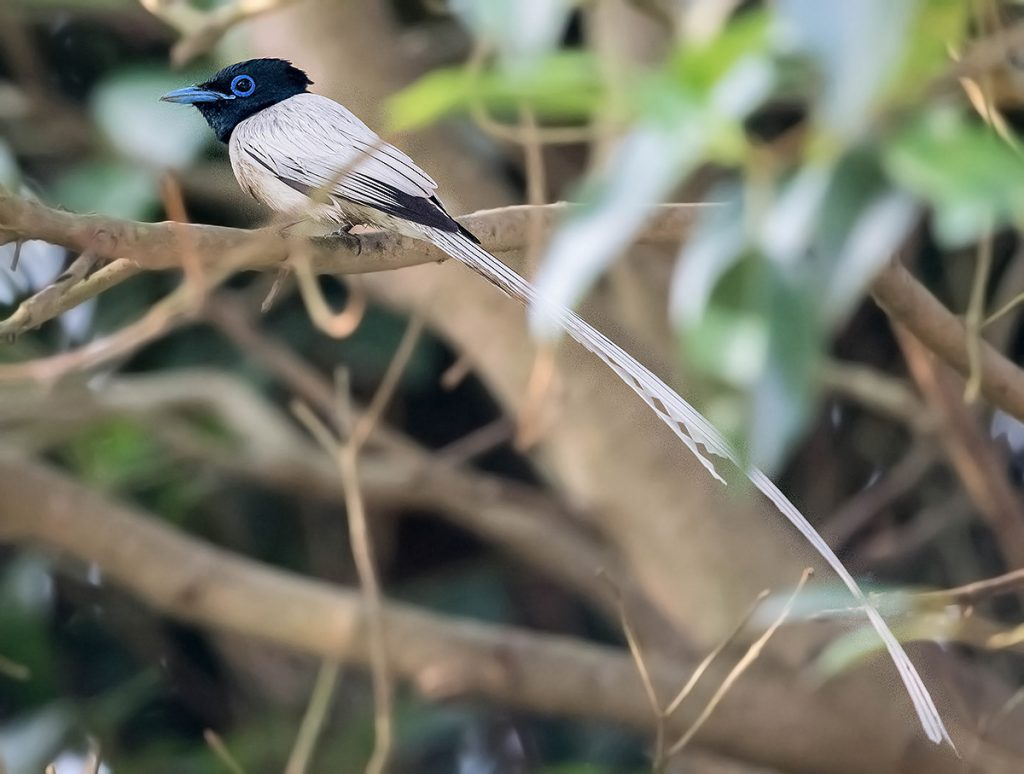 White-morph Amur Paradise Flycatcher, Nanhui, 30 May 2016. In Shanghai, Japanese Paradise Flycatcher is more common than Amur. Of the two species only Amur has the white morph. Photo by Kai Pflug.