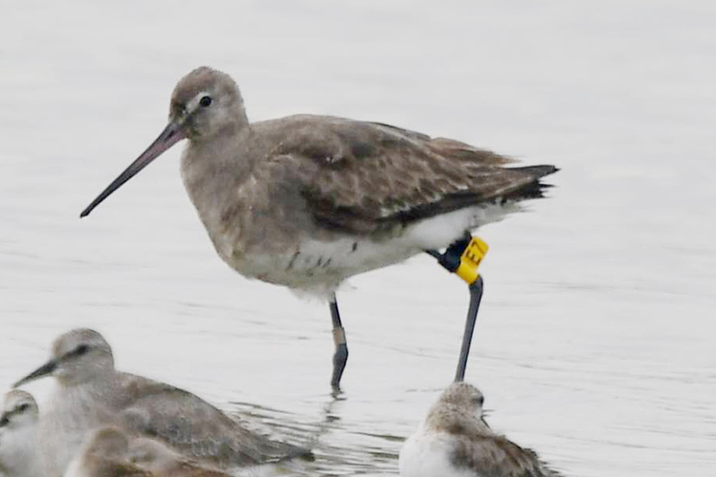 "This photo, taken in Nanhui on 9 Sept. 2016 by local photographer kaca, shows the Black-tailed Godwit <a href=""http://www.shanghaibirding.com/2016/09/04/pitta-nanhui/"" target=""_blank"">that was first found 27 Aug. 2016</a> and that was banded this year in Kamchatka, 4000 km from Nanhui."
