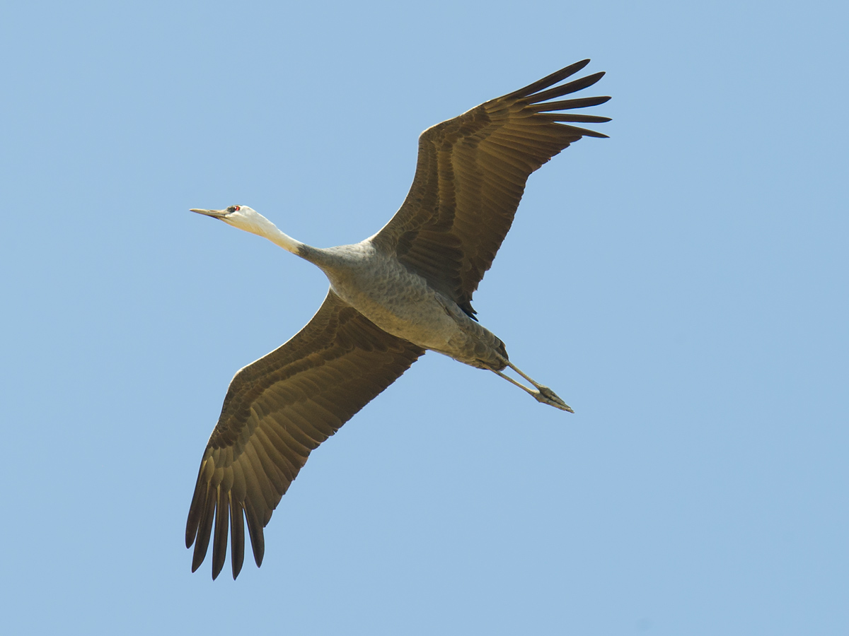 Hooded Crane, Nanhui, 12 Nov. 2016