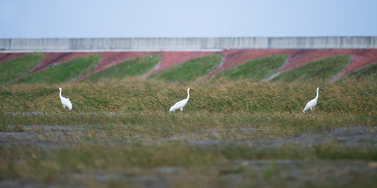 "Siberian Crane at the newly reclaimed extension of Hengsha Island, 29 Nov. 2016. The cranes have been at this spot (<a href=""https://www.google.com/maps/place/31%C2%B019'18.1%22N+122%C2%B001'05.3%22E/@31.3357847,121.9467299,27781m/data=!3m1!1e3!4m5!3m4!1s0x0:0x0!8m2!3d31.321708!4d122.018141"" target=""_blank"">31.321708, 122.018141</a>) since at least 12 Nov. 2016. It is not known exactly what drew the cranes to Hengsha. Disturbances at <a href=""https://www.google.com/maps/place/Poyang+Lake/@29.2577404,114.0262778,7z/data=!4m5!3m4!1s0x34303e5b2a0c4edb:0x89af8c1cdda020c9!8m2!3d29.1253133!4d116.2777073"" target=""_blank"">Lake Poyang</a>, the wintering location of nearly every member of the species, may be a factor. Since 2000 <em>Leucogeranus leucogeranus</em> has been listed as <a href=""http://dx.doi.org/10.2305/IUCN.UK.2015-4.RLTS.T22692053A78922067.en"" target=""_blank"">Critically Endangered</a>. Only about 3750 individuals remain. Photo by Craig Brelsford."