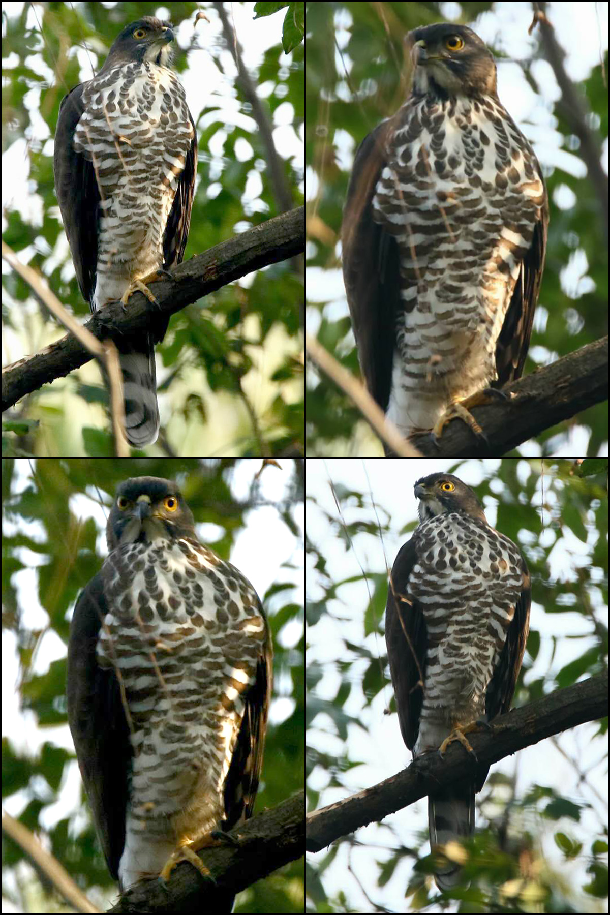 In December 2016 this Crested Goshawk made a very rare appearance in Zhongshan Park, Shanghai. Photo by Wāng Jìn Róng (汪进荣).