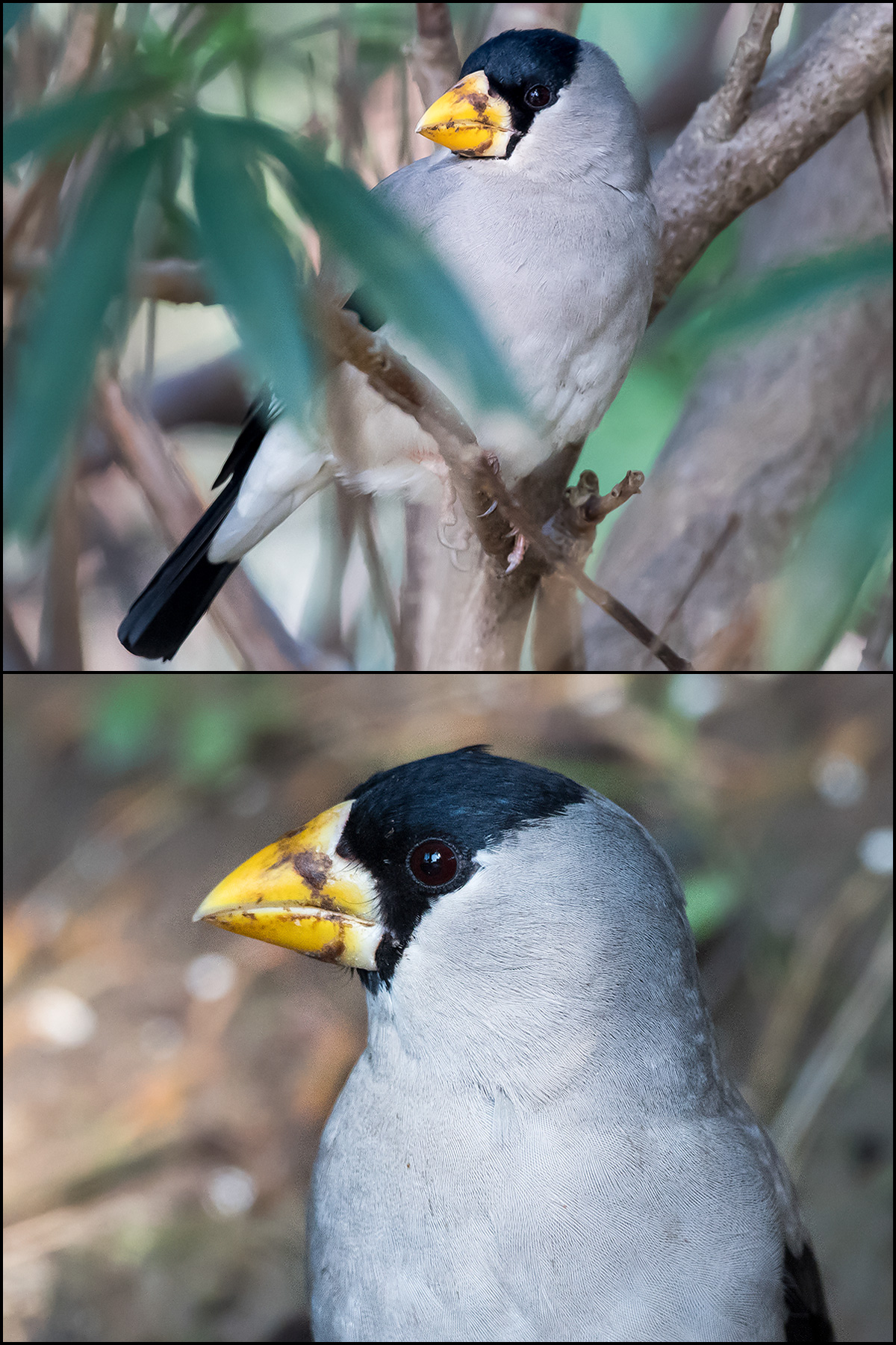 Japanese Grosbeak, Nanhui, 24 Nov. 2016. Photo by Kai Pflug.