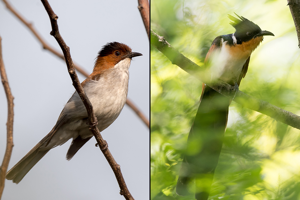Records for Nanhui: Chestnut Bulbul (L) and Chestnut-winged Cuckoo. Kai Pflug.