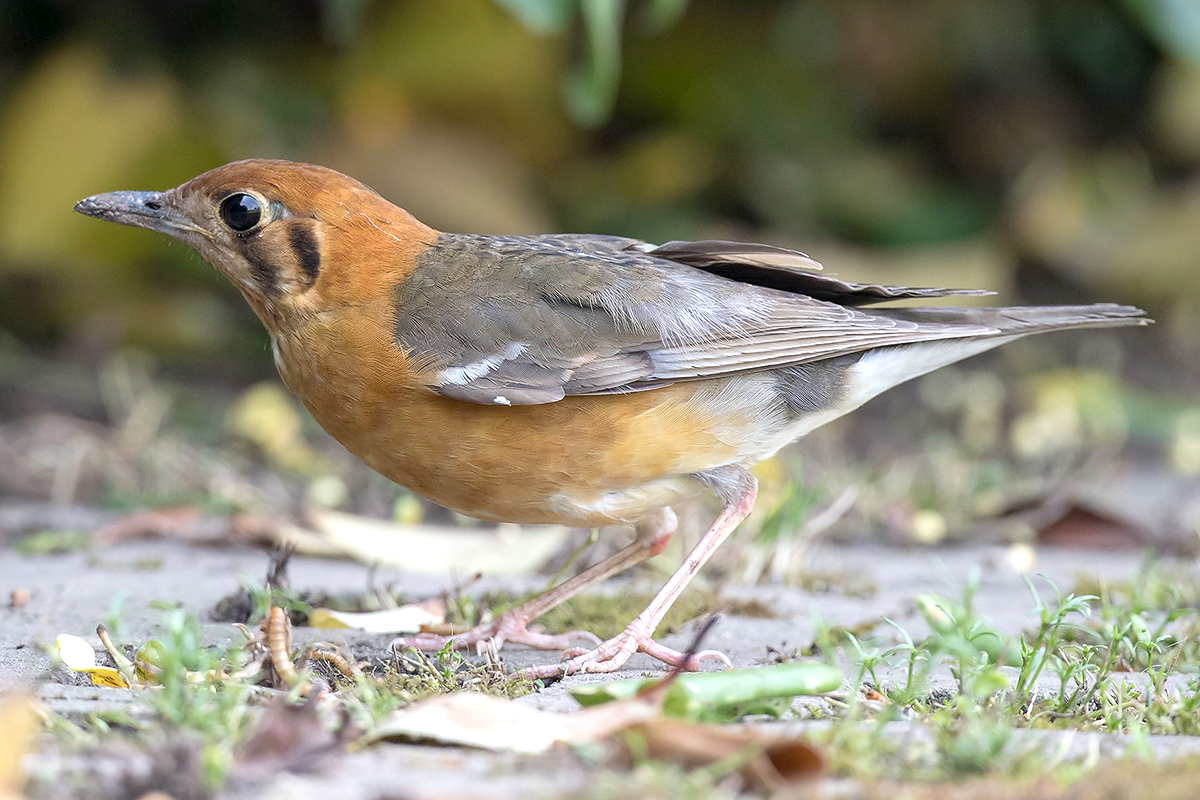 Orange-headed Thrush appeared at the Magic Parking Lot at Cape Nanhui. Kai Pflug.