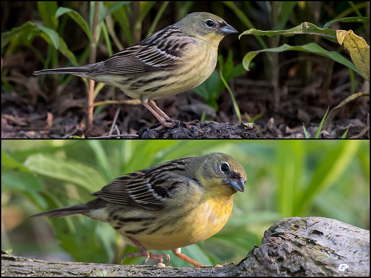 At Nanhui, (Japanese) Yellow Bunting in Microforest 4 (30.953225, 121.959083) . Kai Pflug.