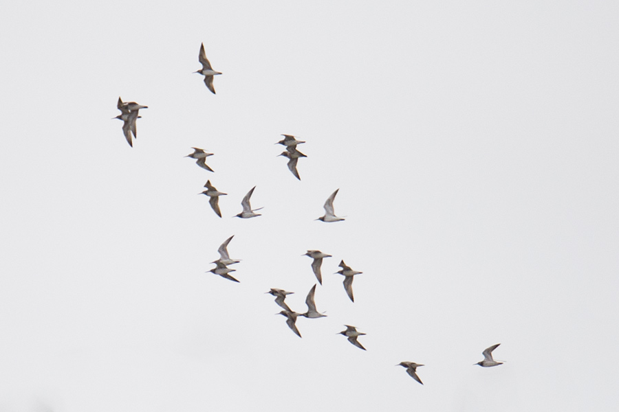 19 Great Knot fly over the mudflats near Nanhuizui in Nanhui, Shanghai, 4 April 2016.