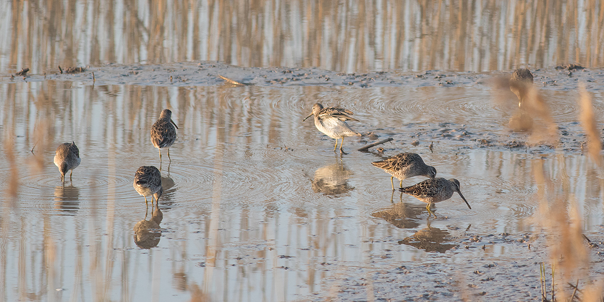 Long-billed Dowitcher <em>Limnodromus scolopaceus</em>, 28 March 2017, Chongming, Shanghai. This flock of 7 is one of the largest ever reported in Shanghai. Photo by Fàn Jūn (范钧).