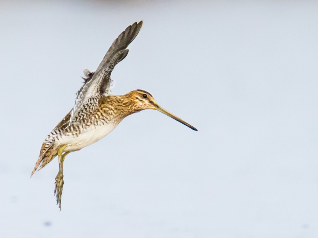 Elaine and I spent our final hour on Hengsha snipe watching. High-speed photography of flying snipe not only is pleasurable but also can be an aid to identification, as the camera captures details that the eye can miss. This is Common Snipe Gallinago gallinago. Nikon D3S, 600 mm + 1.4x TC, F8, 1/5000, ISO 12800 (that is correct: twelve thousand eight hundred!). Camera mounted on Manfrotto MVH502AH video head and Manfrotto MT055CXPRO3 carbon fiber tripod.