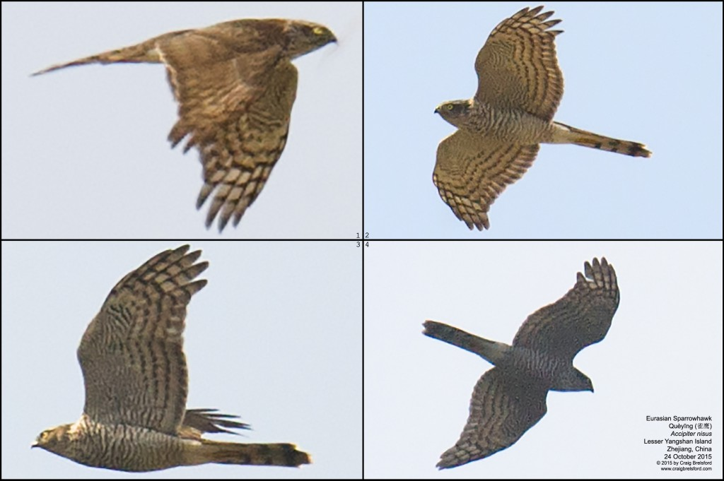 This migrating Eurasian Sparrowhawk appeared briefly over Lesser Yangshan. A China tick for Michael!