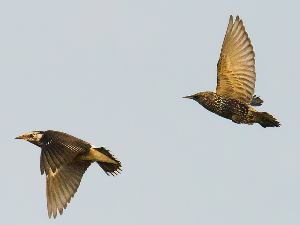 Common Starling is well-known to birders in Europe and North America, and it is common in parts of western China, but in eastern China it is supposedly only a vagrant. It is often seen associating with White-cheeked Starling.