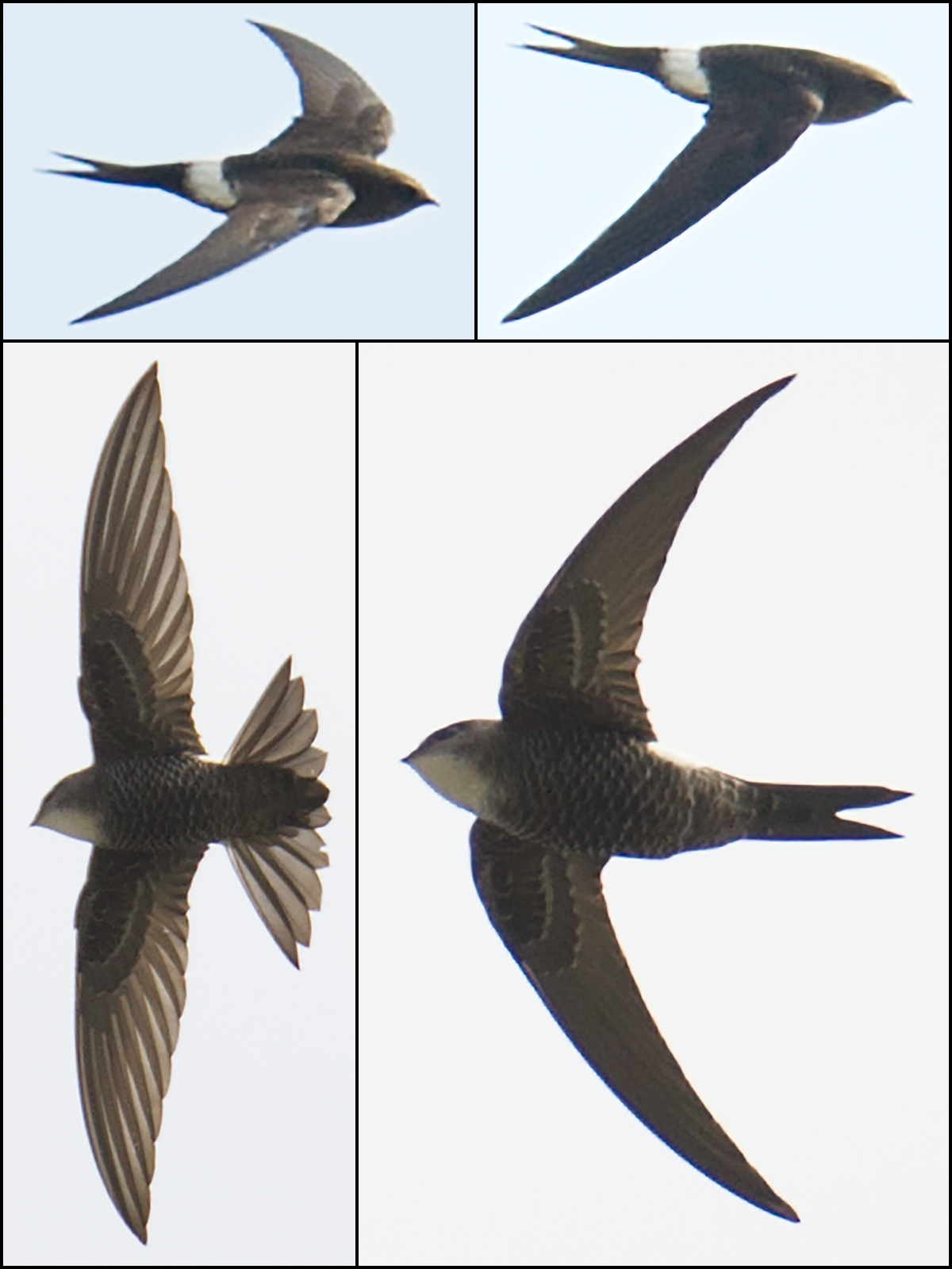 Pacific Swift, Nanhui, 27 April 2017. In Shanghai, Apus pacificus is an uncommon passage migrant. (Craig Brelsford)