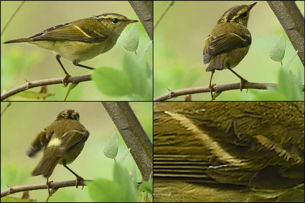 Xueping Popp photographed this Chinese Leaf Warbler at Nanhui. It was the first record ever in Shanghai of Phylloscopus yunnanensis. Photos © 2014 by Stephan Popp and Xueping Popp.