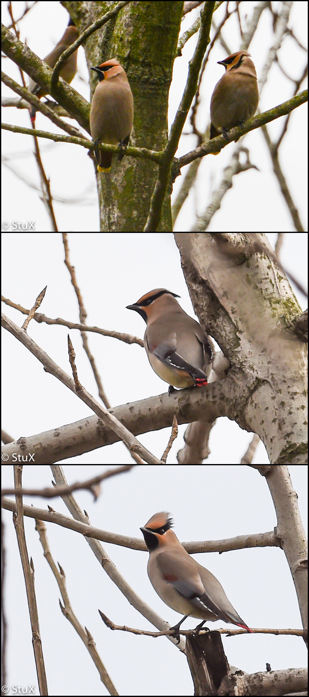 Japanese Waxwing (red-tipped tail) and Bohemian Waxwing (yellow-tipped tail), Chongming Island.
