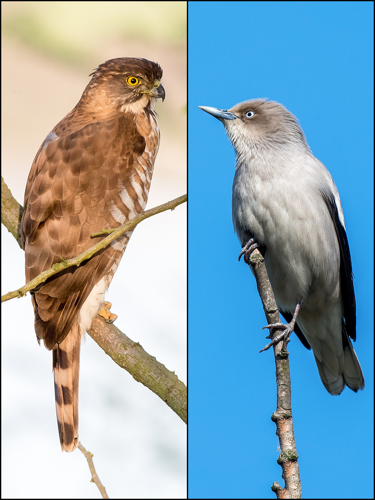 L: Crested Goshawk Accipiter trivirgatus. R: White-shouldered Starling Sturnia sinensis. Both by Kai Pflug.