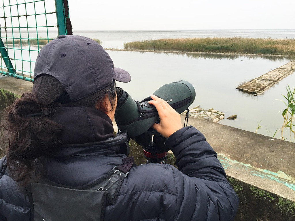 Elaine Du viewing ca. 9000 ducks and coots, 29 Nov. 2015. At a slight turn in the road, look for a hole in the fence and a broken causeway below. The geographic coordinates of this point are 31.331804, 121.883224.