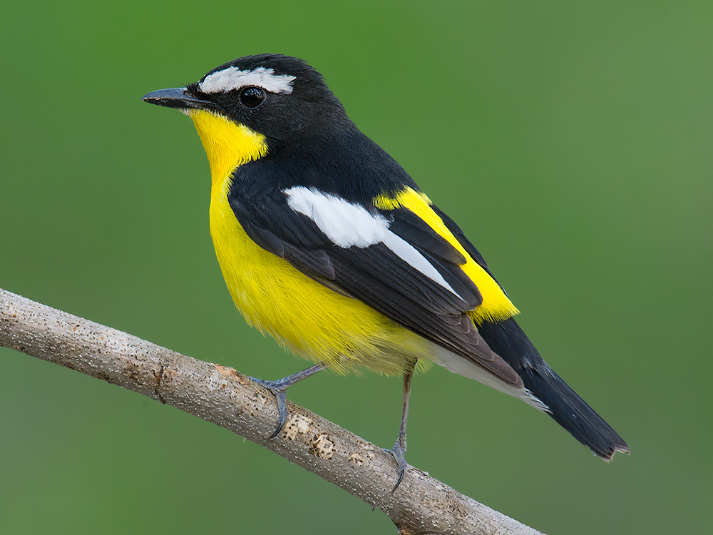 The exquisite Yellow-rumped Flycatcher is one of several East Asian specialties available in the Haiyin Temple forest.
