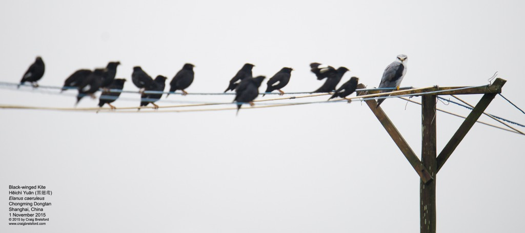kite,-black-winged003