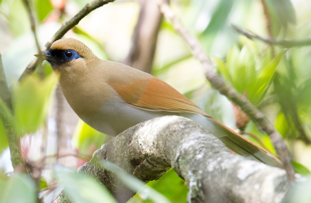 Vocal skulkers, Buffy Laughingthrush are usually heard before they're seen–if you can see them at all.