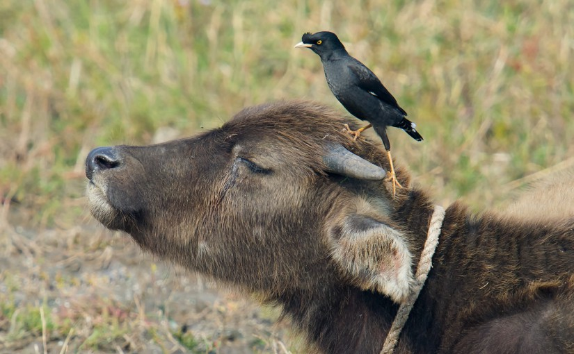 Crested Myna atop water buffalo, Hengsha, 6 Nov. 2014.