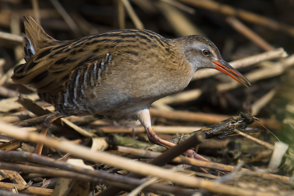 Brown-cheeked Rail Rallus indicus, Yangkou, 15 Nov. 2015. Formerly considered conspecific with Water Rail R. aquaticus, Brown-cheeked Rail is a poorly understood species.