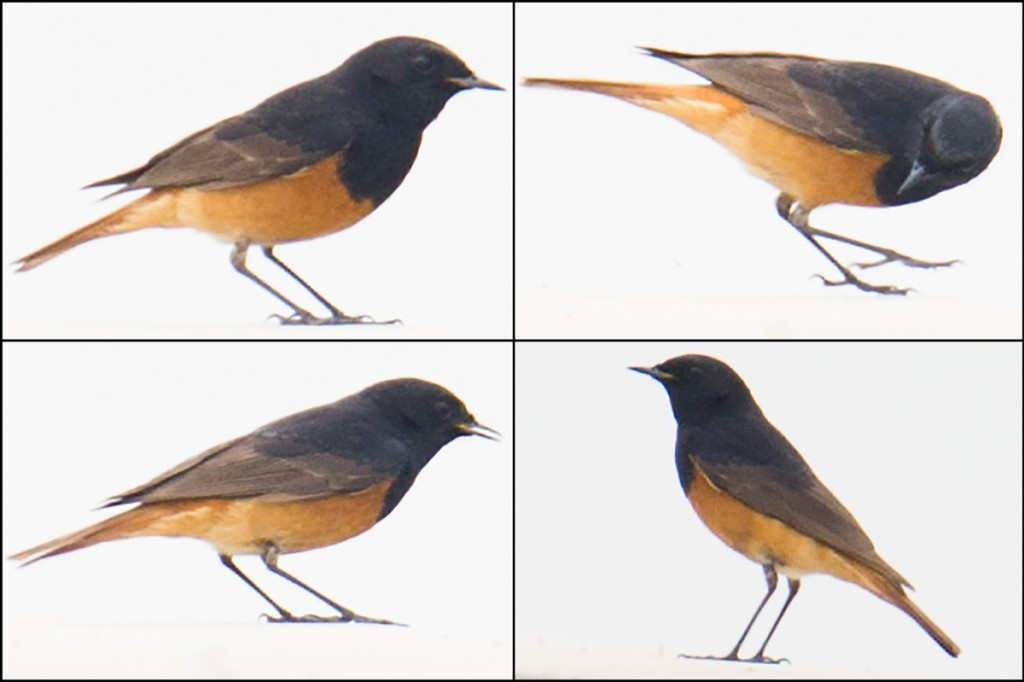 Black Redstart ranges from Western Europe to central China and is a rare visitor to the Chinese coast. This bird was vigorously fly-catching and appeared in excellent condition.