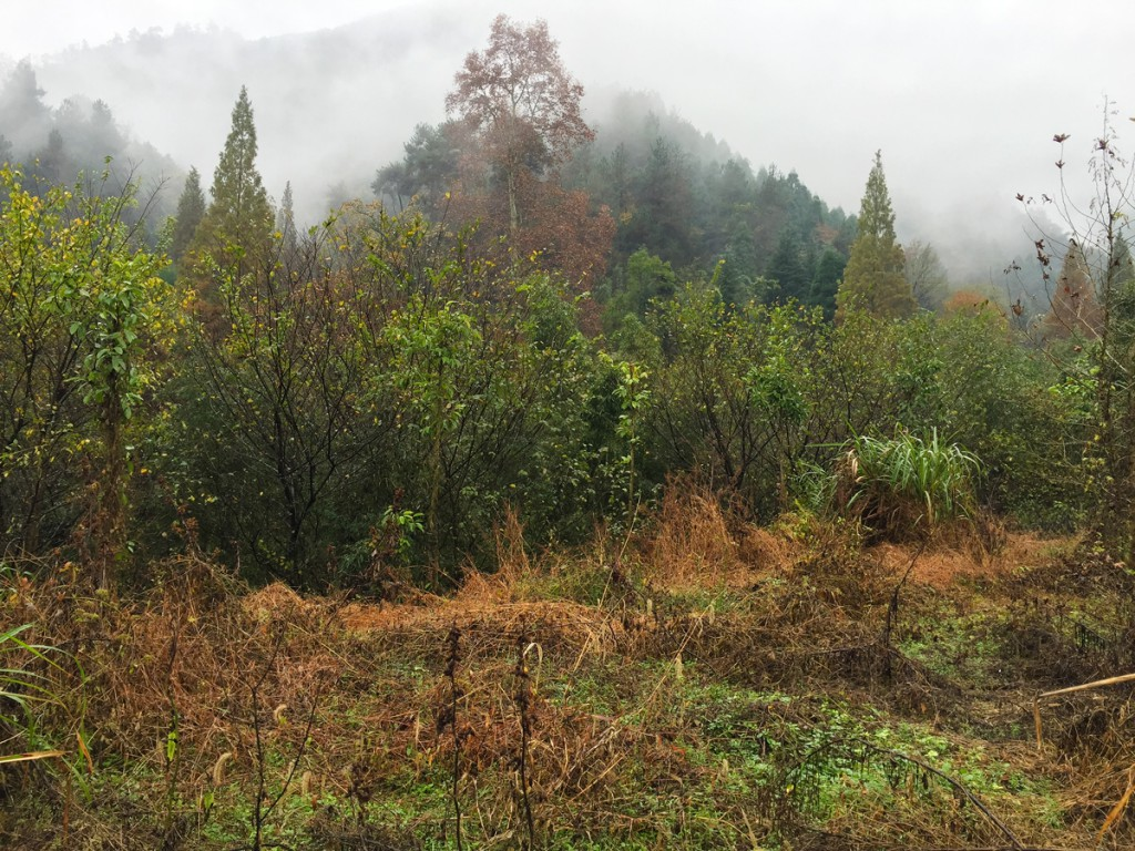 Densely vegetated area near entrance to West Tianmu Nature Reserve. Elev. here 330 m. This was our main birding site on Day 3.