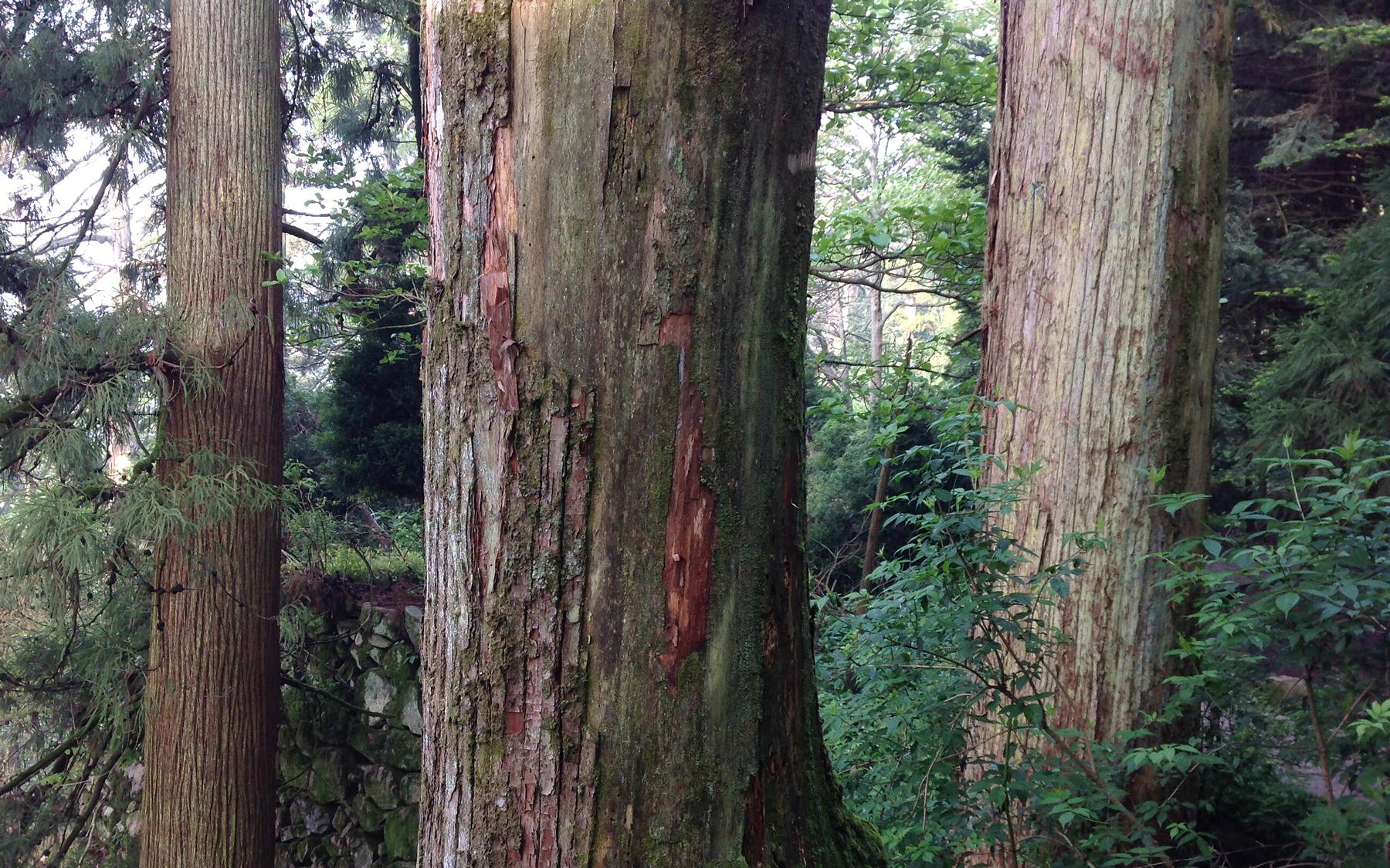 Japanese Cedar Cryptomeria japonica