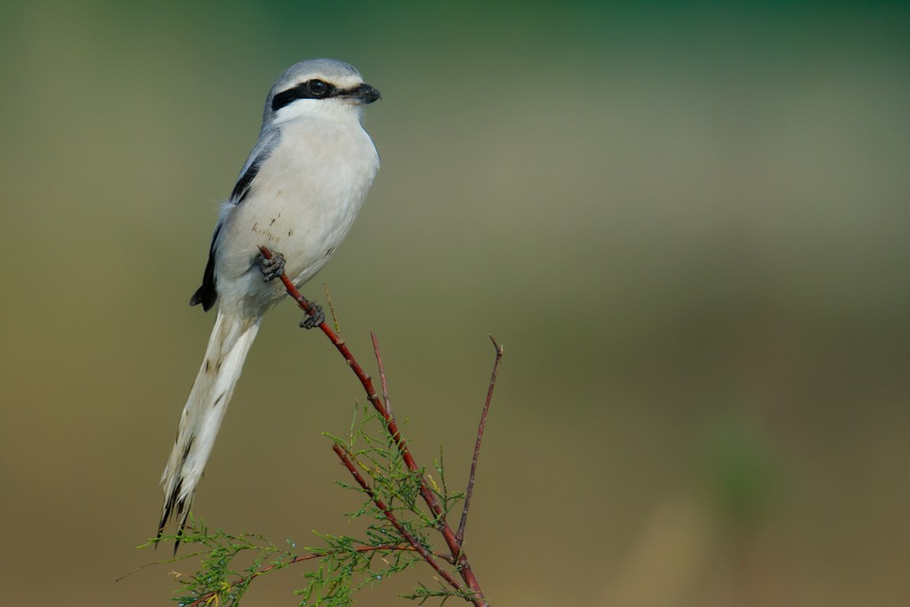 Chinese Grey Shrike, Hengsha, November 2014.