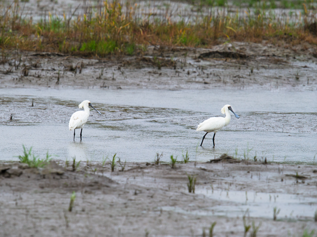 The ponds and muddy areas of Cape Nanhui hold Endangered species such as Black-faced Spoonbill. (Craig Brelsford)