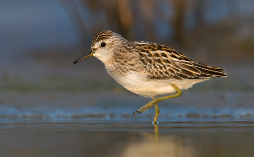Long-toed Stint Calidris subminuta, Yangkou, Rudong, Jiangsu, 26 Sept. 2014. Yangkou lies 200 km N of Shanghai and is an important staging area on the East Asian-Australasian Flyway.