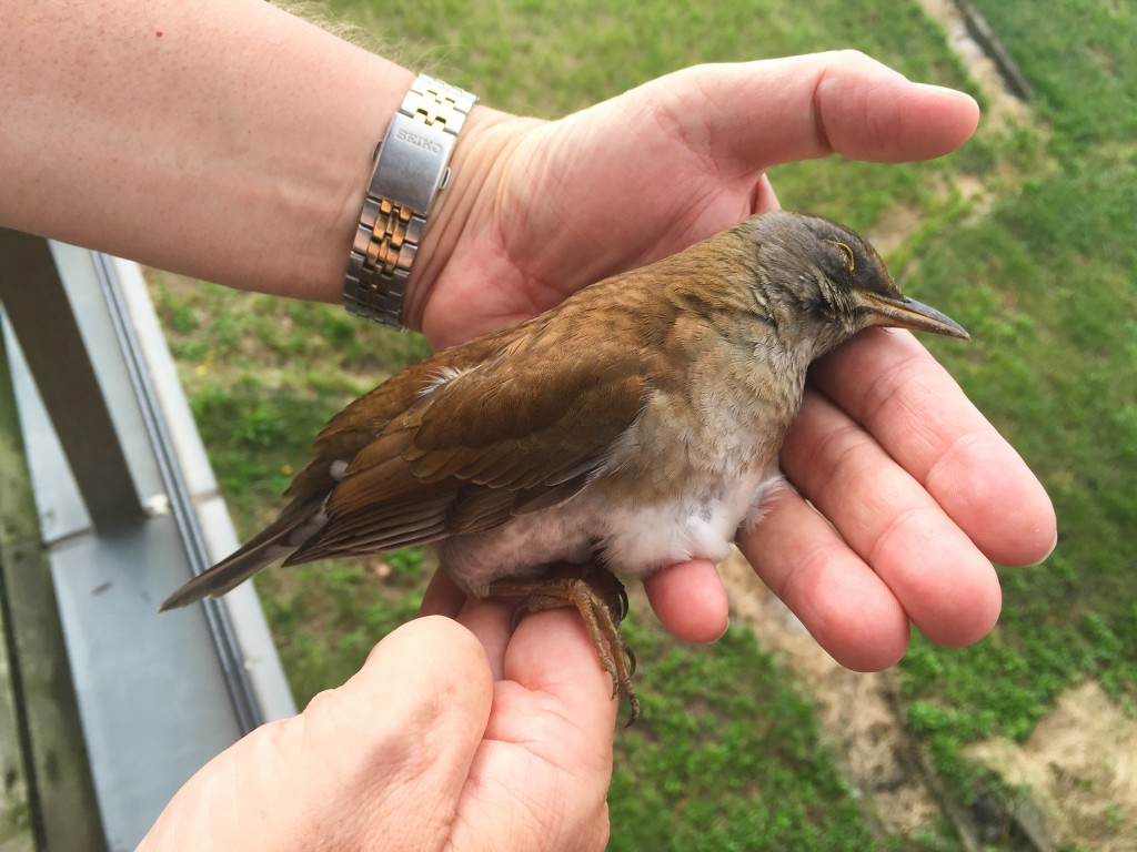 Holding this Pale Thrush, feeling its body heat, admiring its pristine plumage, flawless despite the long flight from northeast Asia–what a moving experience. We thought we had lost this adult male, but when we returned later and saw no bird, we were filled with hope.