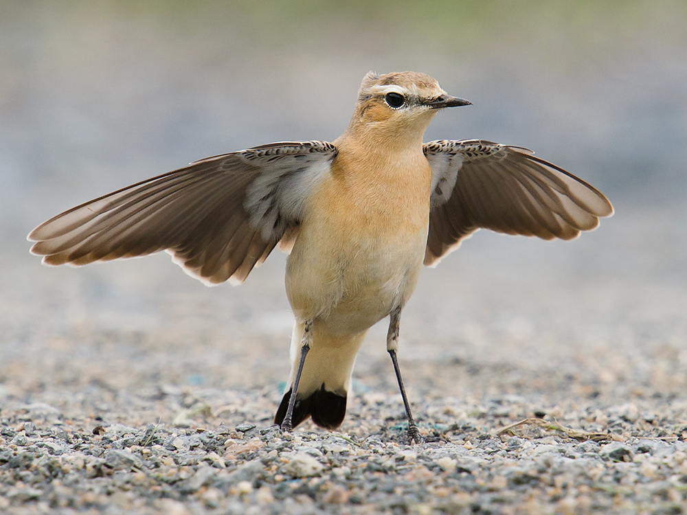 This Northern Wheatear made a brief, sensational appearance on Lesser Yangshan on 21 Sept. 2014.
