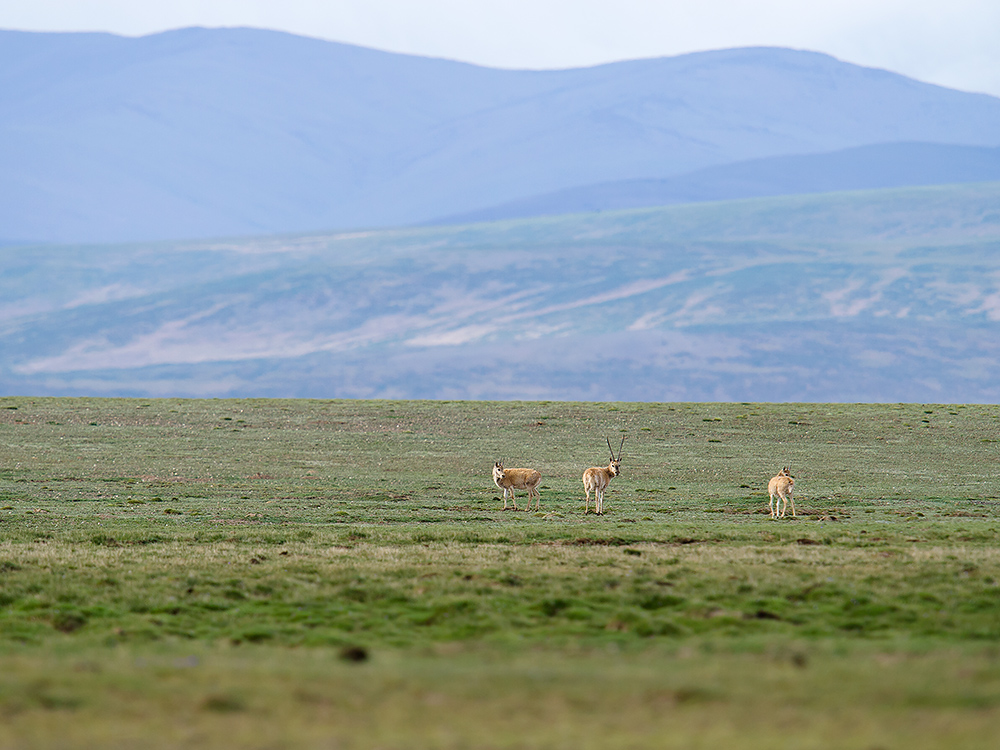 Tibetan Antelope in the Chuma'er River Valley, Qinghai, China, 19 July 2014.