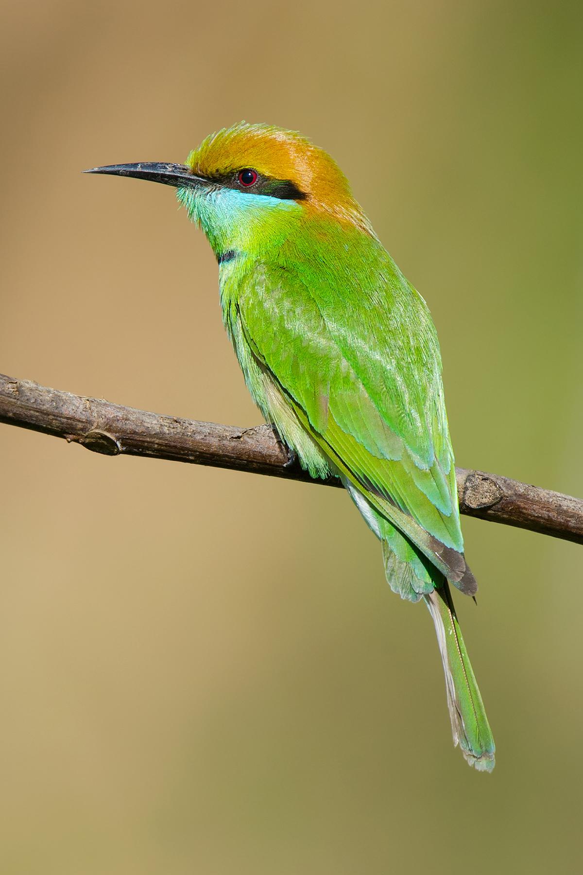 Green Bee-eater, Nabang.