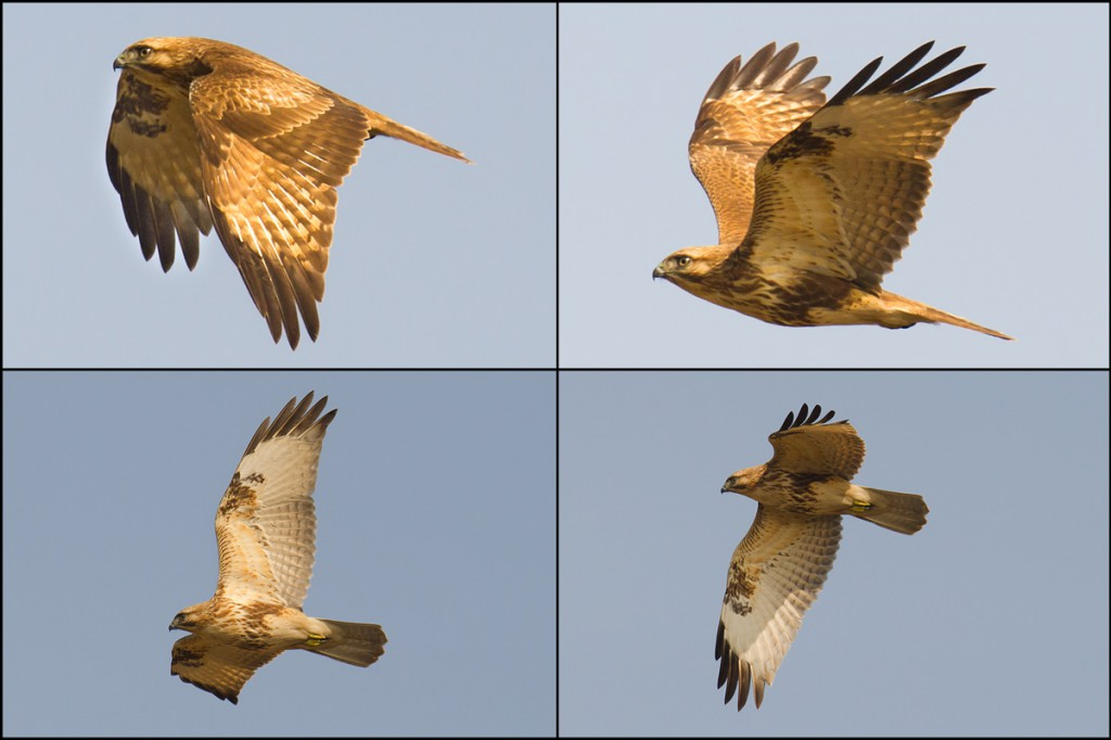 Eastern Buzzard, Nanhui. Note the compact build, black carpal patches on underwings, black tips to primaries, and head that is paler than upperparts. Buteo japonicus is a common winter visitor to Shanghai.