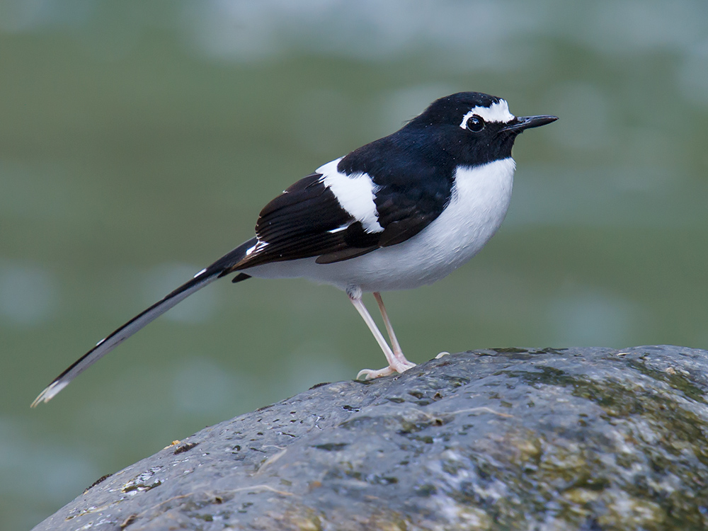 Black-backed Forktail, Nabang.