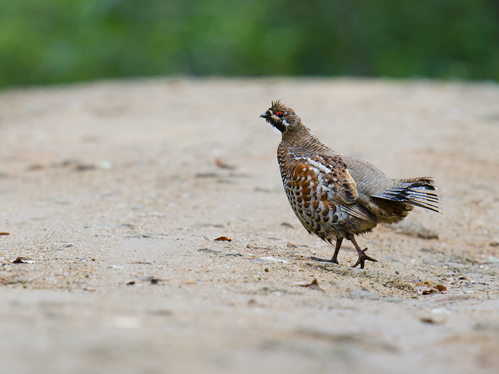 In July and August 2015, Hazel Grouse were commonly noted in Hulunbeier and Heilongjiang and were one of several species that contributed to the 'Northern European' ambience.