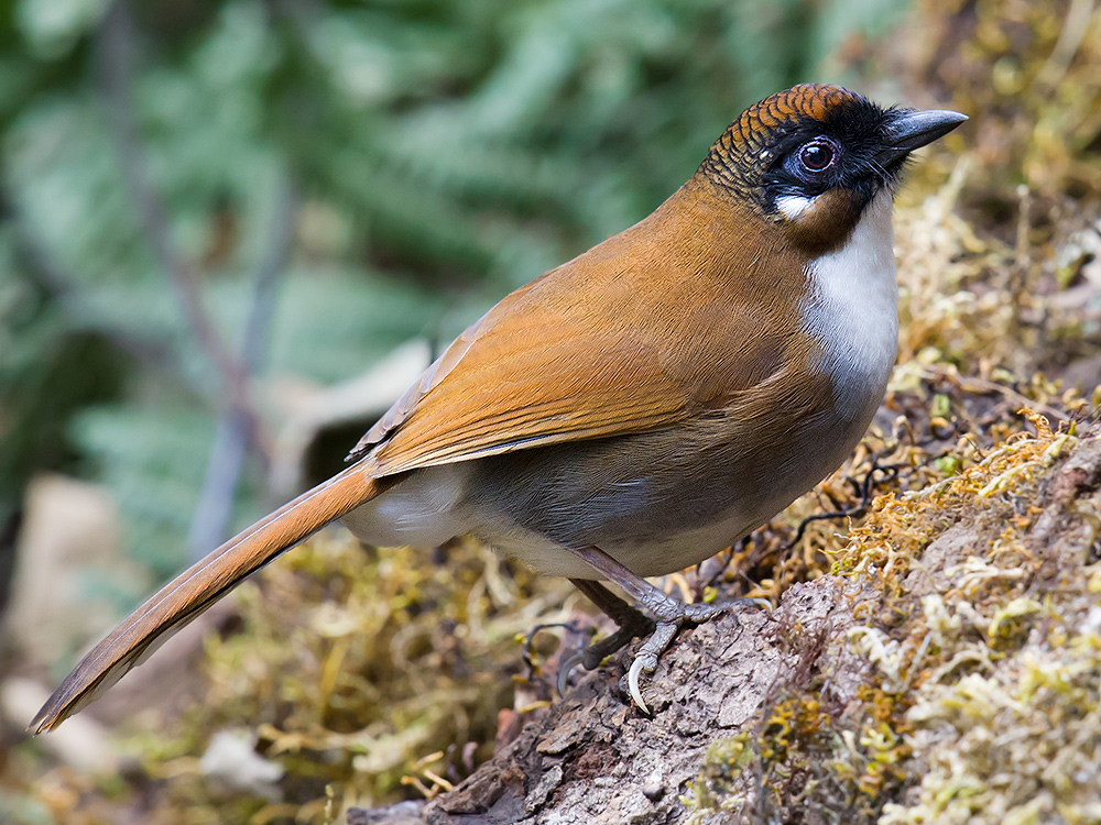 Grey-sided Laughingthrush, Baihualing.