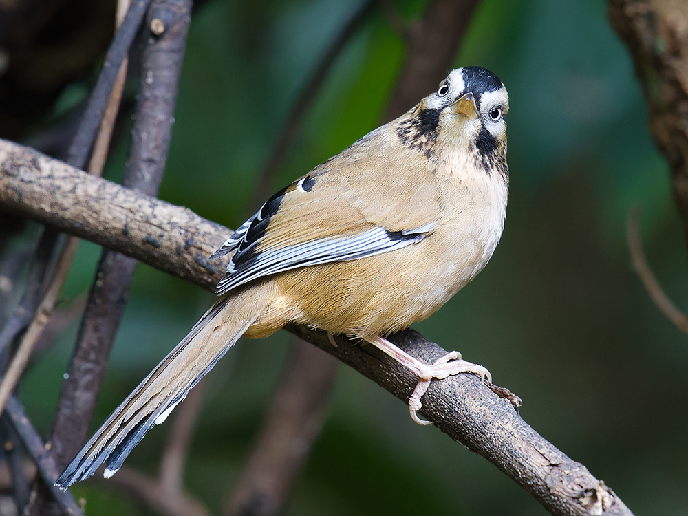 Moustached Laughingthrush, Baihualing.