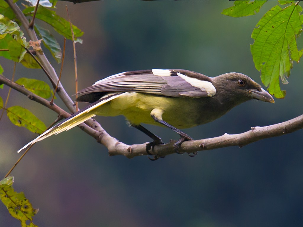 Sitting patiently in Mr. Huang's hide paid off with this serviceable shot of White-winged Magpie.