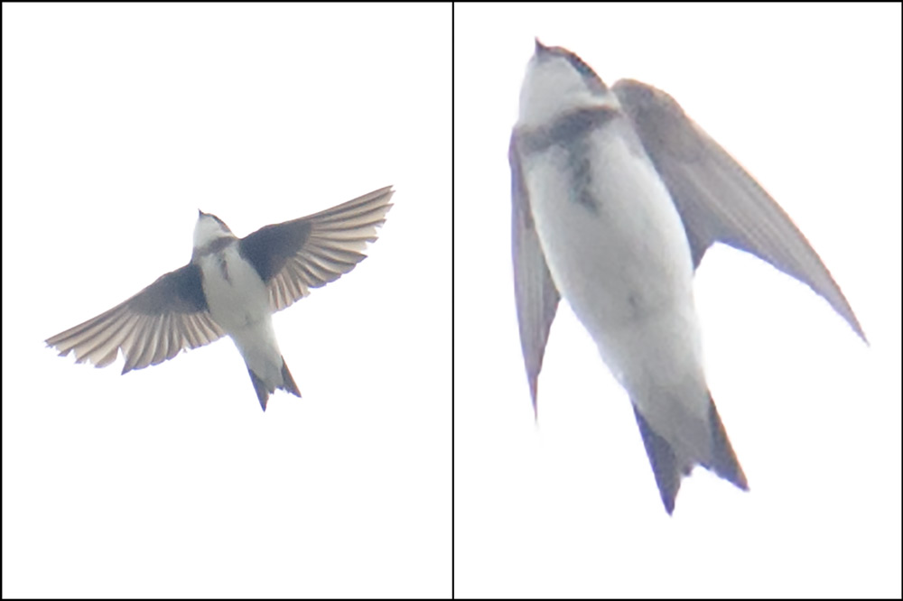 This Sand Martin was associating with Barn Swallow at Nanhui.