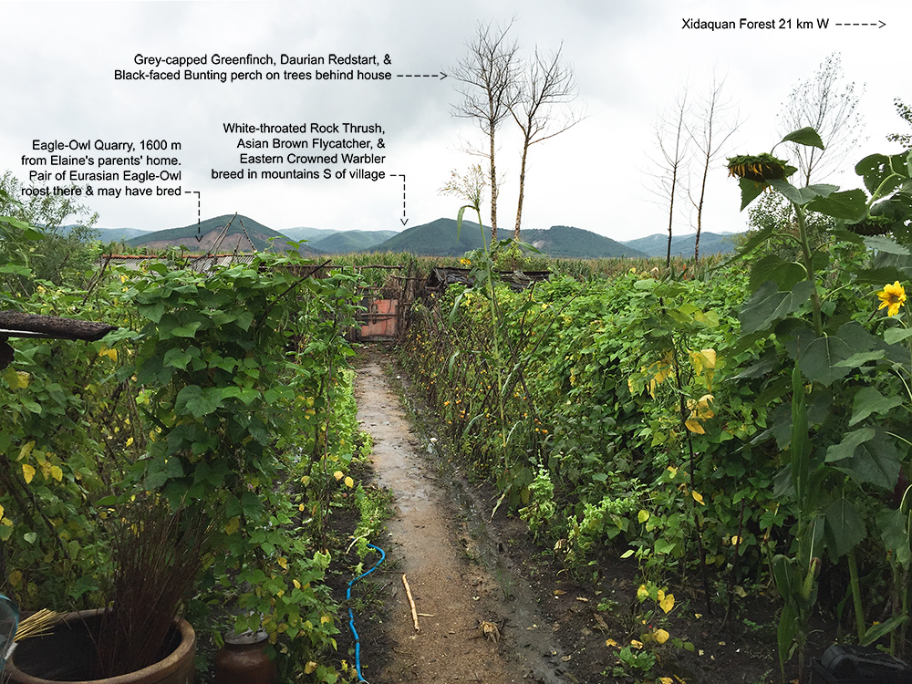 Elaine's parents' back garden, Dawucun, Heilongjiang, 30 Aug. 2015. The quarry where Eurasian Eagle-Owl roost is 1600 m away. White-throated Rock Thrush and Eastern Crowned Warbler breed in the forested hills, and Daurian Redstart and Daurian Starling visit the garden.
