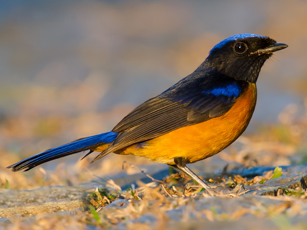 Rufous-bellied Niltava moments before sundown, Rongshu Wang.
