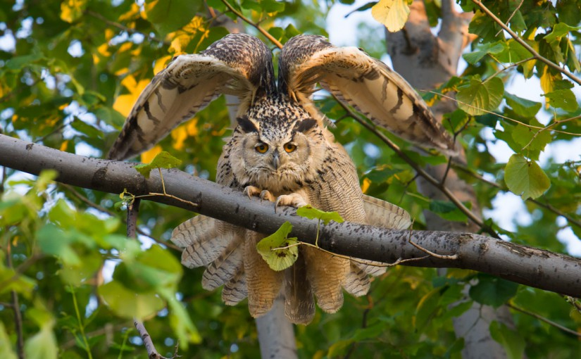 Eurasian Eagle-Owl is the biggest owl in the world. A pair lives in a quarry about a km south of Elaine Du's home village. We couldn't believe our good luck when we found them! Nikon D3S, 600 mm, F/5, 1/250, ISO 2000.
