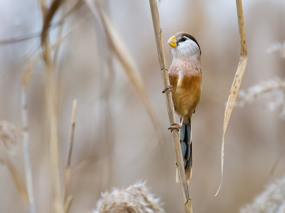 Reed Parrotbill in characteristic pose and reedy habitat, Nanhui, 28 Nov. 2015. The species is still common wherever large beds of reeds are spared from the backhoe and bulldozer. There are a few such good spots at Nanhui.