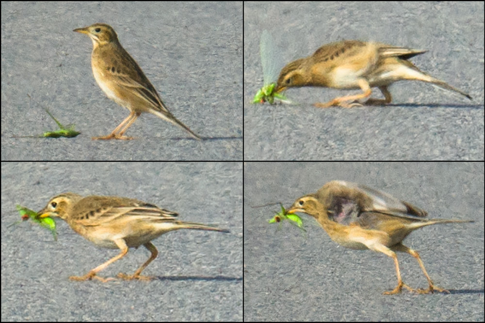In the animal world, the survivors are the athletes and the geniuses. This Richard's Pipit is in top condition. It has caught a katydid, and nicely dividing its attention between prey and predator, the bird assesses the danger, bashes its large prey once more, and safely makes off with the stunned insect.