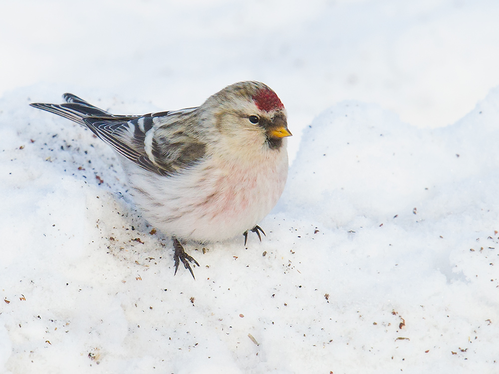 In January 2015, hardy Arctic Redpoll were toughing out temperatures dipping below minus 30.