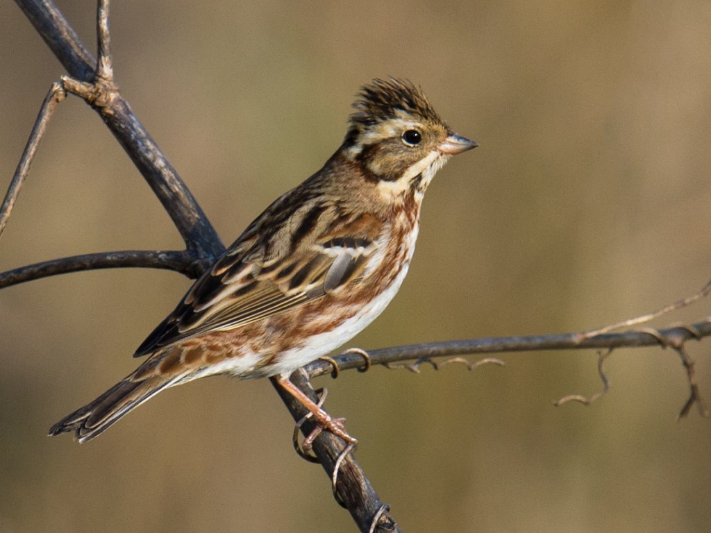 Rustic Bunting Emberiza rustica breeds across northern Eurasia, from Sweden to the Chukotka Peninsula. It's an uncommon passage migrant and winter visitor in the Shanghai region.