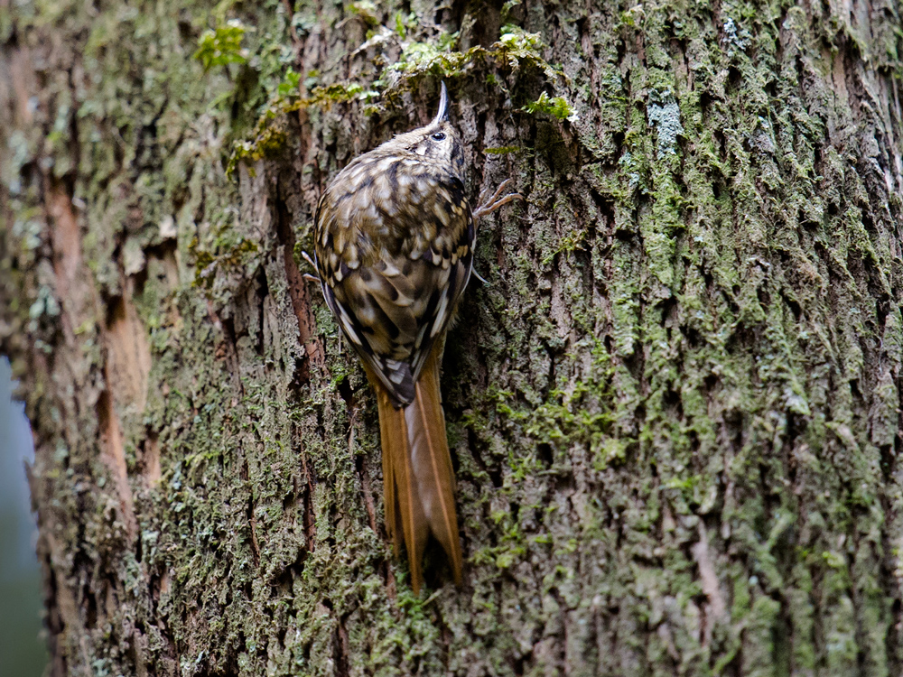 Hume's Treecreeper, Ancient Tea-Horse Road.