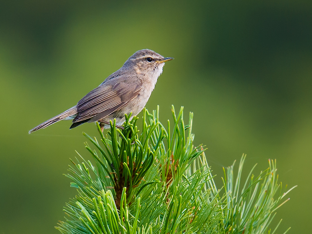 Dusky Warbler Phylloscopus fuscatus, Pine Ridge Peak, Yikesama National Forest, Hulunbeier, Inner Mongolia. Elev. 1409 m. 18 July 2015. Same individual as in recording.